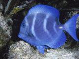 Close-up of Bluefish Underwater Fotografisk tryk af Lee Peterson