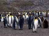 King Penguins Photographic Print by Lynn M. Stone
