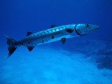 Giant Barracuda, FL Fotografisk tryk af Mike Mesgleski
