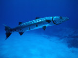 Giant Barracuda, FL Photographic Print by Mike Mesgleski