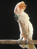 Moluccan Cockatoo Fotografisk trykk av John Dominis