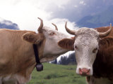 Simmental Cows, Switzerland Photographic Print by Lynn M. Stone