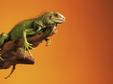 Iguana Photographic Print by Jacque Denzer Parker