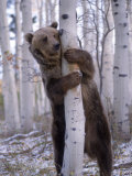 Grizzly Bear Grabbing Tree, North America Fotografie-Druck von Amy And Chuck Wiley/wales