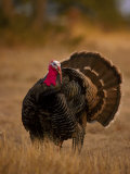 Rio Grande Turkey Photographic Print by D. Robert Franz