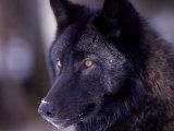 Close-up of a Wolf, Canis Lupus Fotografisk trykk av D. Robert Franz