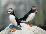 Atlantic puffins w/ fish, Machais Sea Island, ME Photographie par David White