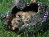 Lynx Kittens, Lynx Canadensis, MT Photographie par D. Robert Franz