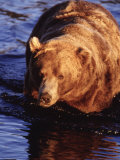 Grizzly Bear, Ursus Arctos Middendorffi, AK Photographic Print by D. Robert Franz