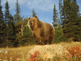 Grizzly Bear on Rock in Grassy Field, MT Photographic Print by Guy Crittenden
