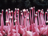 Flock of Flamingos Photographic Print by Pat Canova