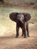 African Elephant Baby (Loxodonta Africana) Photographic Print by Elizabeth DeLaney