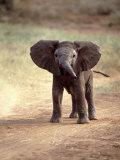 African Elephant Baby (Loxodonta Africana) Photographic Print by Elizabeth DeLaney