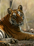 Bengal Tiger, Female Resting, Madhya Pradesh, India Photographic Print by Elliot Neep