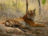 Bengal Tiger, Female Resting, Madhya Pradesh, India Photographie par Elliot Neep