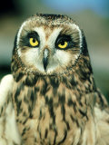 Short-Eared Owl, Portrait, USA Photographic Print by Frank Schneidermeyer