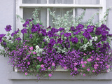 Window Box with Pelargoniums Argyranthemum, Lobelia Fotoprint van Lynne Brotchie