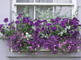 Window Box with Pelargoniums Argyranthemum, Lobelia Photographic Print by Lynne Brotchie