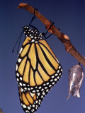 Monarch Butterfly and Chrysalis, Photographic Print
