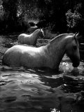 2 White Horses in Water Photographic Print by Tim Lynch