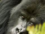Mountain Gorilla, Close-up of Face Looking Through Fern, Africa Fotografisk tryk af Roy Toft