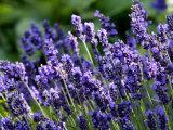 Lavandula Angustifolia (Lavender), Blue Flowers in Dappled Sunlight Fotografiskt tryck av Susie Mccaffrey