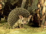 Long-Eared Hedgehog, England, UK Photographic Print by Les Stocker