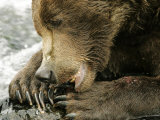 Alaskan Brown Bear, Close-up of Bear Eating Salmon, Alaska Photographic Print by Roy Toft