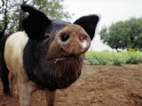 Curious Pig Photographic Print by Allen Russell