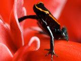 Golfo Dulce Poison Dart Frog, Frog Sitting on Pink Flower, Costa Rica Fotografisk tryk af Roy Toft