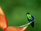 Violet-Crowned Woodnymph, Costa Rica Photographic Print by G. W. Willis
