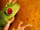 Red-Eyed Tree Frog, Close-up of Head and Front Feet, Costa Rica Photographic Print by Roy Toft