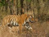 Bengal Tiger, Male Walking in Grass, Madhya Pradesh, India Fotografisk tryk af Elliot Neep