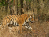 Bengal Tiger, Male Walking in Grass, Madhya Pradesh, India Stampa fotografica di Elliot Neep