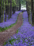 Spring Bluebell Woodlands, Hertfordshire, UK Fotografie-Druck von David Clapp
