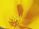 Mexican Gold Poppy, Sonoran Desert, AZ Photographic Print by Amy And Chuck Wiley/wales