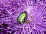 Rose Chafer (Cetonia Aurata) Green Beetle on Chrysanthemum Flower Fotoprint van Philippe Bonduel