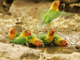 Fishers Lovebirds, Tanzania, Africa Photographic Print by Roy Toft