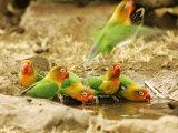 Fishers Lovebirds, Tanzania, Africa Lámina fotográfica por Roy Toft