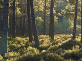 Abernethy Forest Rspb Reserve, Scotland Photographic Print by Mark Hamblin