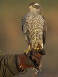 Goshawk, Adult Perched on Falconers Glove, Scotland Photographie par Mark Hamblin