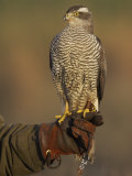 Goshawk, Adult Perched on Falconers Glove, Scotland Photographic Print by Mark Hamblin