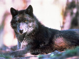 Eastern Timber Wolf (Canis Lupus) Photographic Print by Bob Winsett