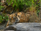 Bengal Tiger, 11 Month Old Cub on Rocks, Madhya Pradesh, India Photographic Print by Elliot Neep