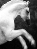 White Horse Prancing Photographic Print by Tim Lynch