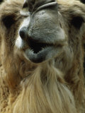 Camel Photographic Print by Mitch Diamond