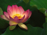 Lotus Flower, Echo Park Lake, Los Angeles, CA Photographic Print by David Carriere