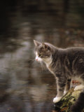 Cat on Rock Photographic Print by Pam Ostrow