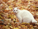 White Cat in Autumn Leaves Photographic Print by Rudi Von Briel