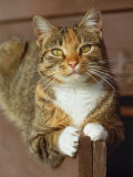Gray Domestic Cat Outdoors, Close-up Photographic Print by Allen Russell